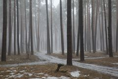 Vernal forest fogs. A light mist of fog floats among the trees of the spring forest of the middle belt of Russia Stock Photo
