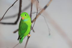 Vernal hängande papegoja Royaltyfri Bild