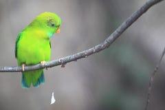 Vernal hängande papegoja Royaltyfri Foto