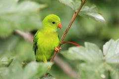 Vernal hängande papegoja Royaltyfri Fotografi
