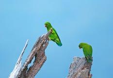 vernal hängande papegoja för birdnem Fotografering för Bildbyråer