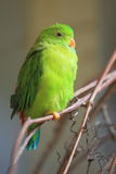 Vernal hanging parrot Royalty Free Stock Image