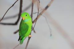 Vernal hanging parrot Royalty Free Stock Image
