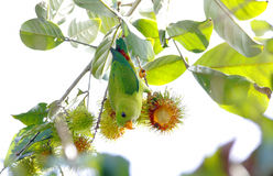 Vernal Hanging Parrot Loriculus vernalis Stock Photography
