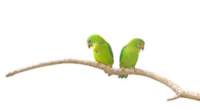 Vernal Hanging Parrot (Loriculus vernalis) isolated on white Royalty Free Stock Photo