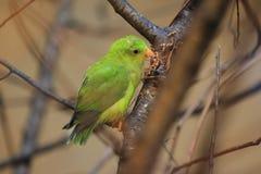 Vernal hängande papegoja Arkivfoto