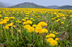 Vernal meadow full of nice yellow dandelions.  Royalty Free Stock Photography