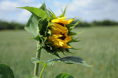 Vernal sunflower on a meadow with closed flower Royalty Free Stock Photo