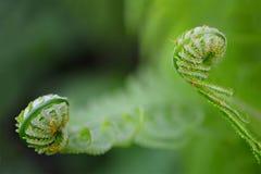 Vernal unfolding fern leaves. Royalty Free Stock Photography