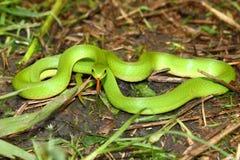 vernalis змейки зеленого opheodrys ровные Стоковое Фото