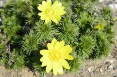 Vernalis amarelos de adonis completamente… fotos de stock royalty free