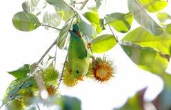 Vernalis d'attaccatura primaverili di Loriculus del pappagallo Fotografia Stock