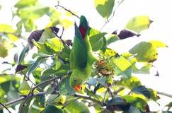 Vernalis d'attaccatura primaverili di Loriculus del pappagallo Fotografia Stock Libera da Diritti
