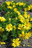 Vernalis de los flowerAdonis de Adonis Fotografía de archivo