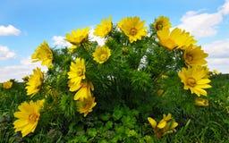 Vernalis del Adonis fotografia stock