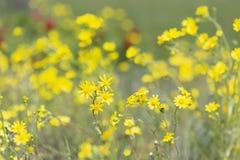 Vernalis jaunes lumineux de Senecio de wildflowers, Asteraceae sur le pré de montagne de ressort images libres de droits
