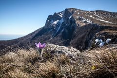 Vernalis Pulsatilla весной стоковые фото