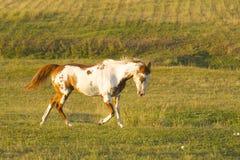 Vernici il funzionamento del cavallo Immagine Stock