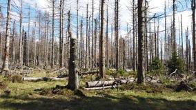 vernietigd bos door de ziekte van de schorskever stock videobeelden