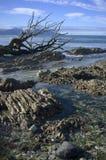 Vernietigd dood hout op kalksteenkust Royalty-vrije Stock Afbeeldingen
