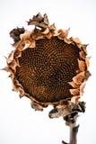 Vernietigd zonnebloemhoofd in de winter royalty-vrije stock foto's