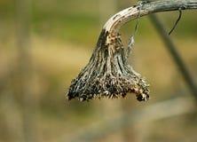 Vernietigd zonnebloemhoofd zonder zaden in de winter Royalty-vrije Stock Foto