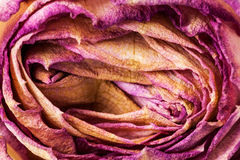 Vernietigde en droge roze en geel nam bloemblaadjes toe Stock Fotografie