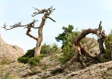 Vernietigde jeneverbessenboom op hemelachtergrond Stock Afbeelding