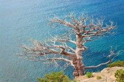 Vernietigde jeneverbessenboom op overzeese achtergrond Stock Foto