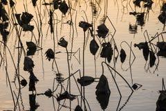 Vernietigde lotusbloem royalty-vrije stock foto's