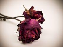 Vernietigde Rood nam toe De bloem van de schoonheidsdood Stock Foto