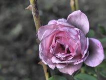 Vernietigde roze nam toe Royalty-vrije Stock Foto's