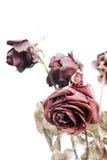 Vernietigde rozen Stock Foto