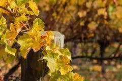 Vernietigde wijnstokbladeren in wijngaard Stock Foto