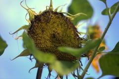 Vernietigde zonnebloem Royalty-vrije Stock Afbeeldingen