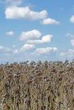 Vernietigde Zonnebloemen in Autumn Field Against Blue Sky Gerijpte Droge Zonnebloemen Klaar voor het Oogsten Royalty-vrije Stock Foto's
