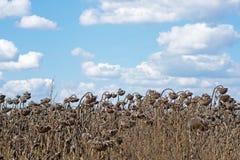 Vernietigde Zonnebloemen in Autumn Field Against Blue Sky Gerijpte Droge Zonnebloemen Klaar voor het Oogsten Royalty-vrije Stock Foto