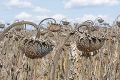 Vernietigde Zonnebloemen in Autumn Field Against Blue Sky Gerijpte Droge Zonnebloemen Klaar voor het Oogsten Royalty-vrije Stock Afbeelding