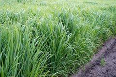 Vernieuwbaar middel switchgrass voor het verwarmen en productiebiofuel stock afbeelding