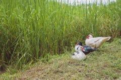 Vernomen eenden op een groen padieveld Stock Foto's