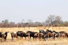 Vernomen wildebeests Stock Afbeeldingen