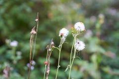 Vernonia cinerea di meno, piccolo ironweed Fotografia Stock Libera da Diritti
