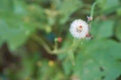 Vernonia cinerea di meno, piccolo ironweed Fotografia Stock
