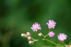 Vernonia cinerea Less flowers Royalty Free Stock Image