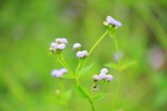 Vernonia cinerea weniger Blume Lizenzfreie Stockfotografie