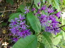 Vernonia (Ironweed) Plant Blossoming in Bright Sunlight in Woods. Stock Images