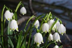 Vernum de Leucojum ; flocon de neige de ressort Photographie stock libre de droits