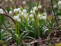Vernum de Leucojum ; flocon de neige de ressort Image stock