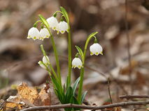 Vernum de Leucojum ; flocon de neige de ressort Photos libres de droits