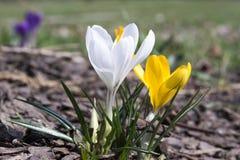 Vernus крокуса в цветени, желтом цвете и белизне Стоковое фото RF